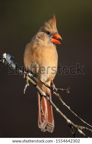 A northern cardinal perched on a branch #1554642302