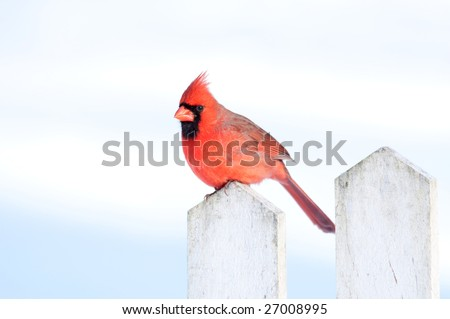 A northern cardinal sits on a white fence post following a winter storm