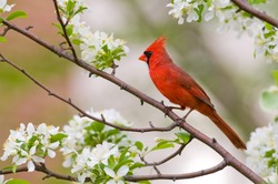 A northern cardinal sits perched in a tree on a spring day