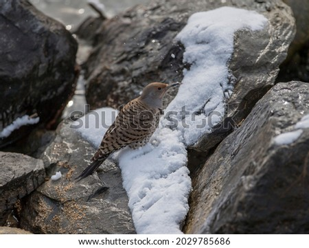 A Northern Flicker in winter Foto stock ©