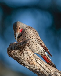A northern flicker rests on a perch in Wyoming.