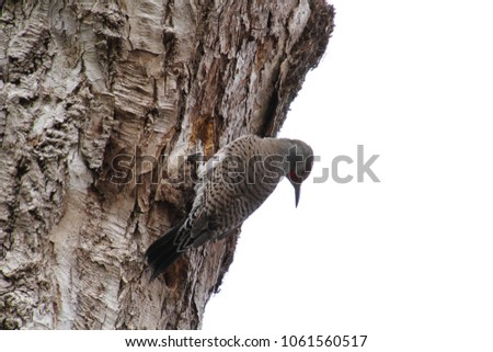 A northern flicker woodpecker on the side of a dead tree #1061560517