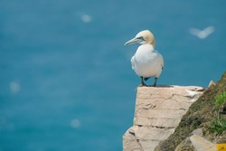 A Northern Gannet is standing on the edge of a cliff. Cape St. Mary's Ecological Reserve, Newfoundland and Labrador, Canada.