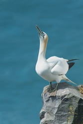 A Northern Gannet is standing on the edge of a cliff looking up. Cape St. Mary's Ecological Reserve, Newfoundland and Labrador, Canada.