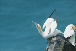 A Northern Gannet is standing on the edge of a cliff preparing to take flight. Cape St. Mary's Ecological Reserve, Newfoundland and Labrador, Canada.