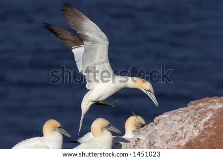 A northern gannet touching down near other gannets.