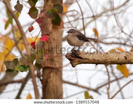 A northern mockingbird (mimus polyglottos) by University Lake at Louisiana State University, Baton Rouge, Louisiana, USA.