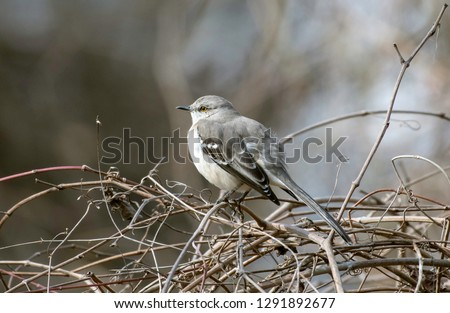 A northern mockingbird, Mimus polyglottos, perches in a bare tree and curling vines in the Red River National Wildlife Refuge, in northwest Louisiana.