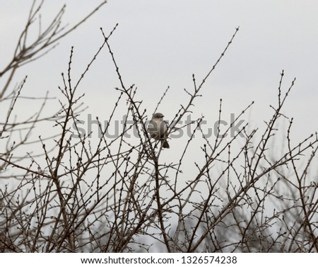 A northern mockingbird perched in brush on a foggy winter day