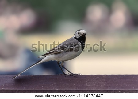 A Northern Mockingbird perched on a banch in a garden