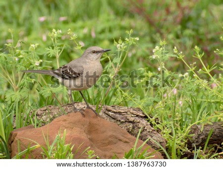 A northern mockingbird sits on a reddish brown rock with grasses and little white flowers in the background