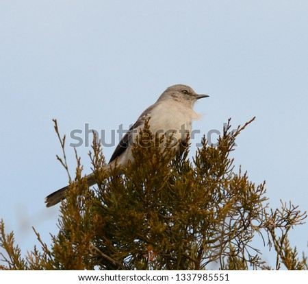 A northern mockingbird sitting in the top of a cedar tree at sunset against a clear blue sky