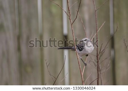 A Northern Mockingbird taking a break
