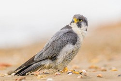 A northern peregrine falcon (Falco peregrinus calidus) sitting in the sand with shells, in a beach of the Natural Park of the Ebro Delta, in Catalonia.
