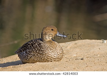 A Northern Pintail (Anas acuta) sitting on the ground of a park of Athens (Greece)