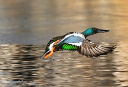 A Northern Shoveler duck has just burst out of the water and is ready for flight.