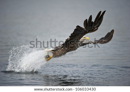 A Norwegian White-tailed sea eagle. The bird is plucking a coal fish from the frigid waters of a deep Norwegian fjord in a cloud of salt water spray, using its' huge talons as grappling hooks.