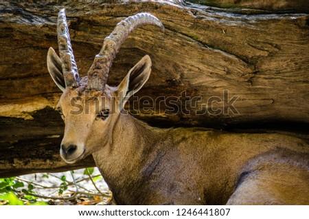 a Nubian Ibex #1246441807