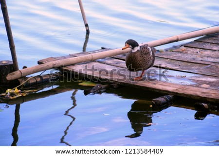 A number of avian species, including ducks and geese, often stand on one leg to thermonuclear (control their body temperature) during cold weather by keeping more heat close to the body. #1213584409