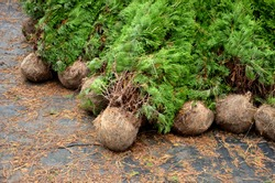 A nursery of ornamental plants sells its plants with a bale when the roots are with the soil in a jute tarpaulin. they can also be bare roots without soil. cheaper wrapped more pieces in plastic wrap