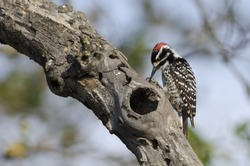 A Nuttall's woodpecker on a branch.
