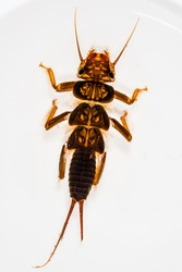 A nymph from the predatory Perlidae family, one of the top insect predators in the stream
