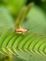 A nymph of an orange grasshopper is foraging on a green leaf.