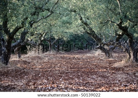 a olive grove in greece