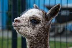 A one day old baby alpaca showing a big grin on her face for the camera