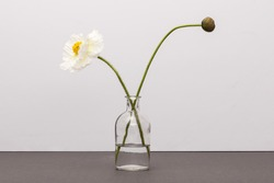 A opium poppy flower and bud with glass vase and water on the grey paper bottom, grey background at the studio.