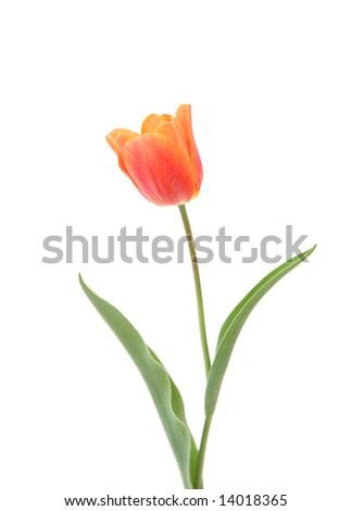 a orange tulip against white background