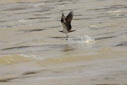 A Osprey bird hunting for fish