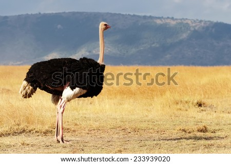 Shutterstock A ostrich (Struthio camelus) on the Masai Mara National Reserve safari in southwestern Kenya.