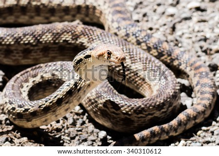 stock-photo-a-pacific-gopher-snake-pituo