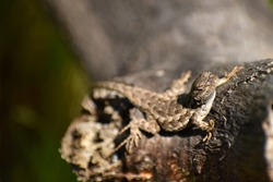 A Pacific Western Fence Lizard sunbathes on a log alongside a trail in Fort Ord National Monument, California.