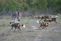 A pack of Africa Wilddogs hunting Zebra on a safari in South Africa.