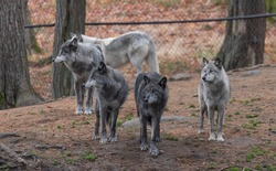 A pack of 5 captive gray wolves, in their fenced enclosed area waiting for a meal.
