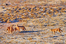 A pack of highly endangered beasts, Ethiopian wolves, Canis simensis, on the hunt. Hoarfrost, Sanetti plateau environment, Bale Mountains National Park, Ethiopia, roof of Africa.