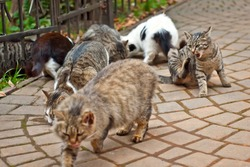 A pack of stray cats eats from the asphalt. Many stray cats close up. Multicolored cats eat food. Gray cat scratches his head.