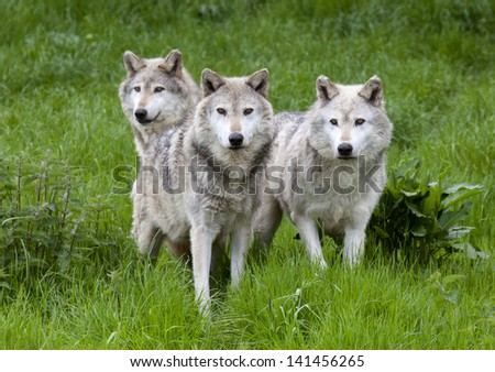 A pack of three European Grey Wolves playing in grass