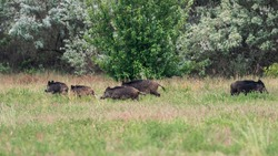 A pack of wild boars at the edge of the forest