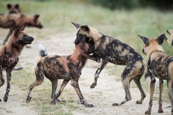 A pack of Wilddogs playing and practicing their fighting skills on a safari in South Africa