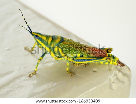 A Painted Grasshopper #166930409