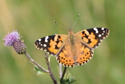 A Painted Lady butterfly (vanessa cardui) feeding on a thistle flower, against a blurred natural background, Flamborough Head, East Yorkshire, UK