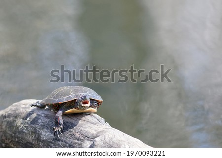 A painted turtle sunning itself on a log partially submerged in the lake, caught in mid-yawn while relaxing. Stock foto ©