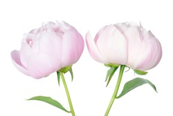 a pair beautiful peony flower isolated on white background