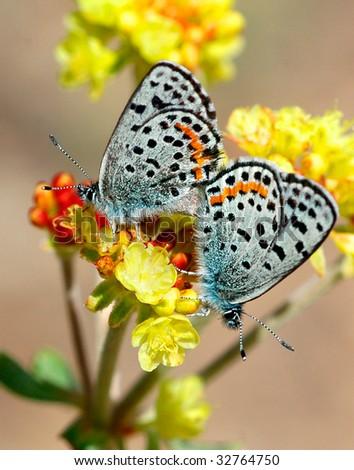 of acmon blue butterflies