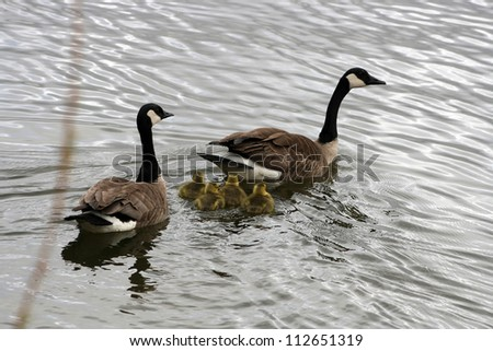 A pair of adult Canada Geese swimming in a lake with a gaggle of goslings in spring in Winnipeg, Manitoba, Canada