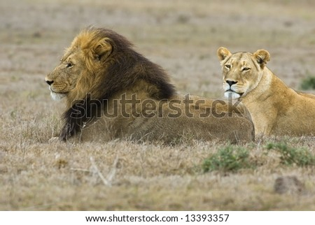 stock photo : A pair of adult lions survey the plains of Africa