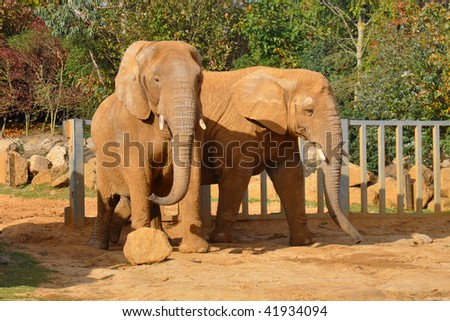 A pair of african elephants in Colchester Zoo